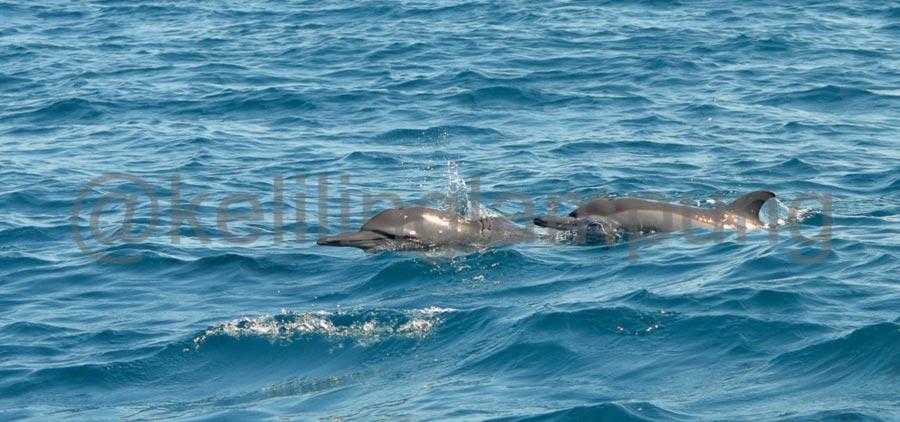 Gambar Lumba-lumba Krui Pesisir Barat - Lampung - Yopie Pangkey - 3