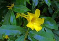 Foto Gambar Bunga Alamanda cathartica - yopiefranz.id - Yopie Pangkey - 1
