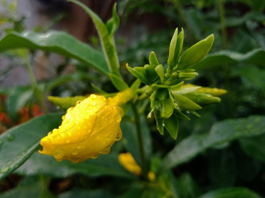 Foto Gambar Bunga Lonceng Kuning - yopiefranz.id - Yopie Pangkey - 5