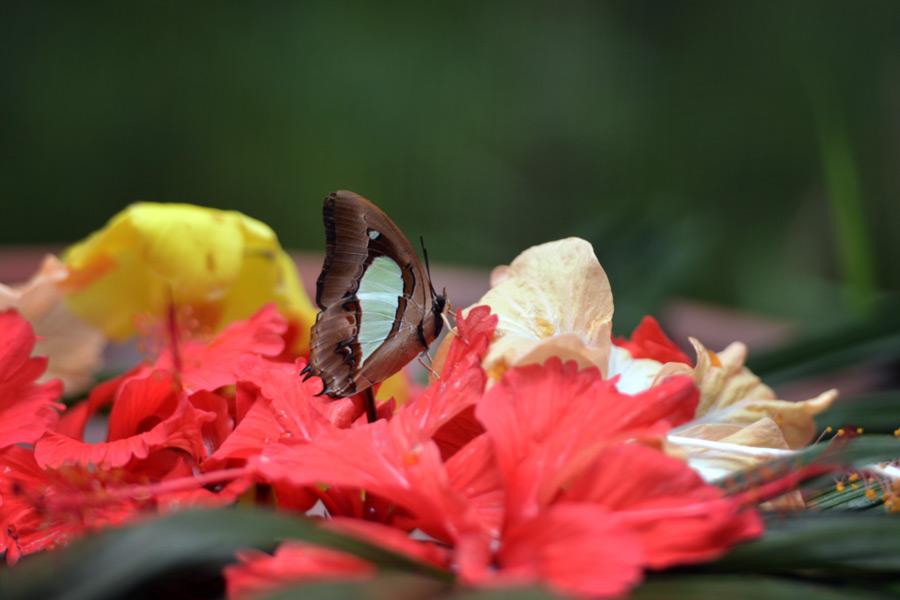 Foto gambar kupu kupu di bunga - yopiefranz.id - yopie pangkey