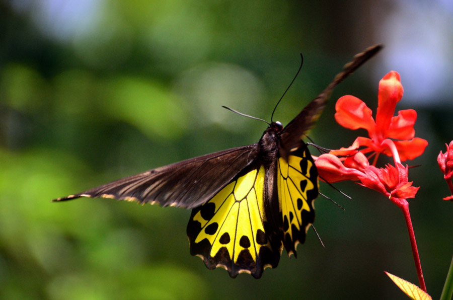 foto gambar kupu kupu berwarna yang indah dan cantik - yopiefranz.id - yopie pangkey