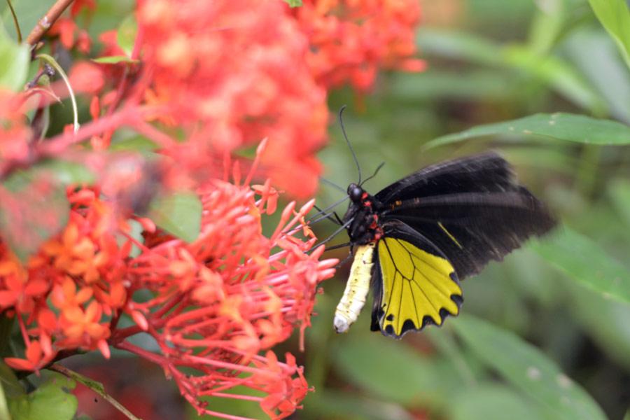 gambar bunga dan kupu kupu hinggap - yopiefranz.id - yopie pangkey