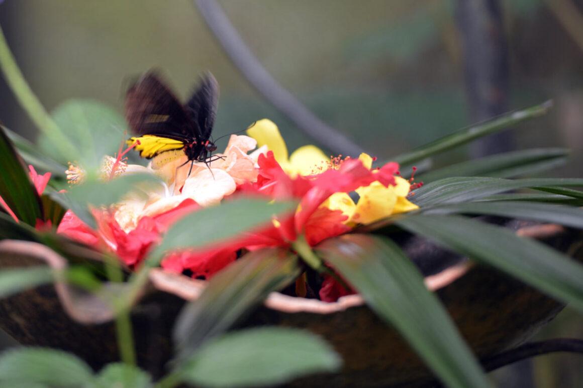 gambar kupu kupu hinggap di bunga - yopiefranz.id - yopie pangkey