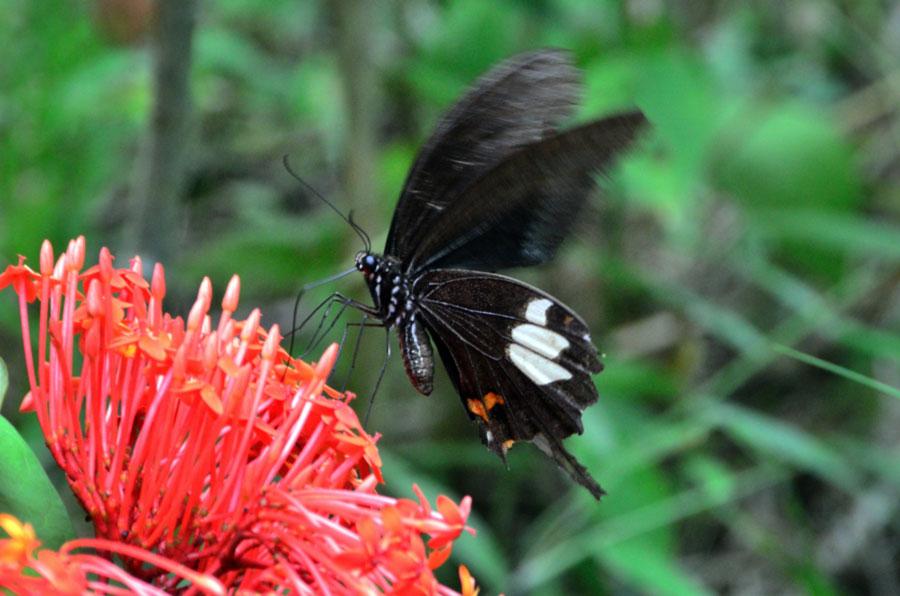 gambar kupu kupu hinggap di bunga - yopiefranz.id - yopie pangkey - 2