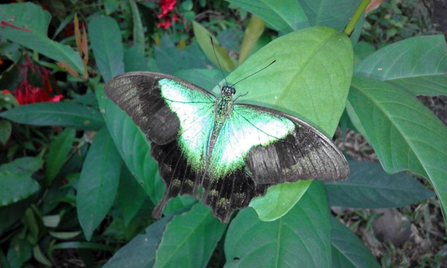 gambar kupu kupu hinggap di daun - yopiefranz.id - yopie pangkey