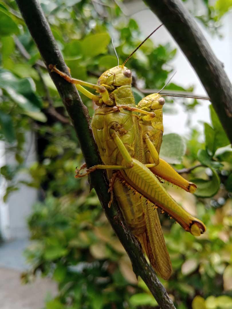 Foto Gambar Belalang Hijau Kawin - Jantan Betina - - yopiefranz.id - Yopie Pangkey - 2