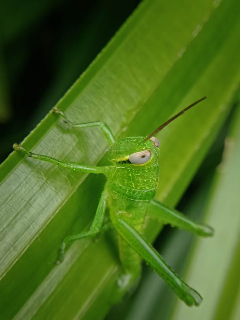 Foto Gambar Nimfa - Atractomorpha crenulata - yopiefranz.id - Yopie Pangkey - 7