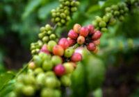 1 pohon kopi menghasilkan berapa kg - 1 liter kopi berapa kg