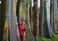 Foto Gambar Pohon Pelangi - Bondowoso Jawa Timur - Rainbow Eucalyptus - @uccas