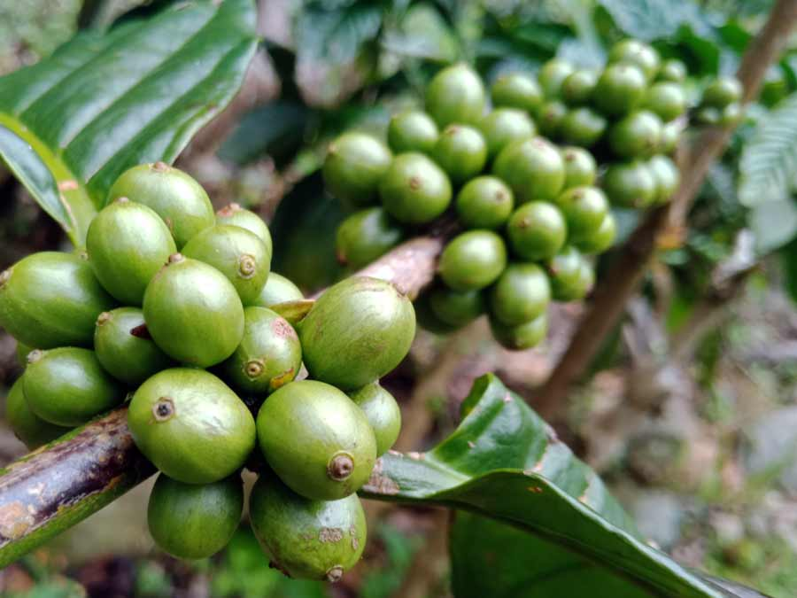 perbedaan kopi robusta dan arabika - yopiefranz.id - yopie pangkey - 1
