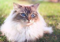 Foto Gambar Kucing Ragdoll - @astatheragdoll