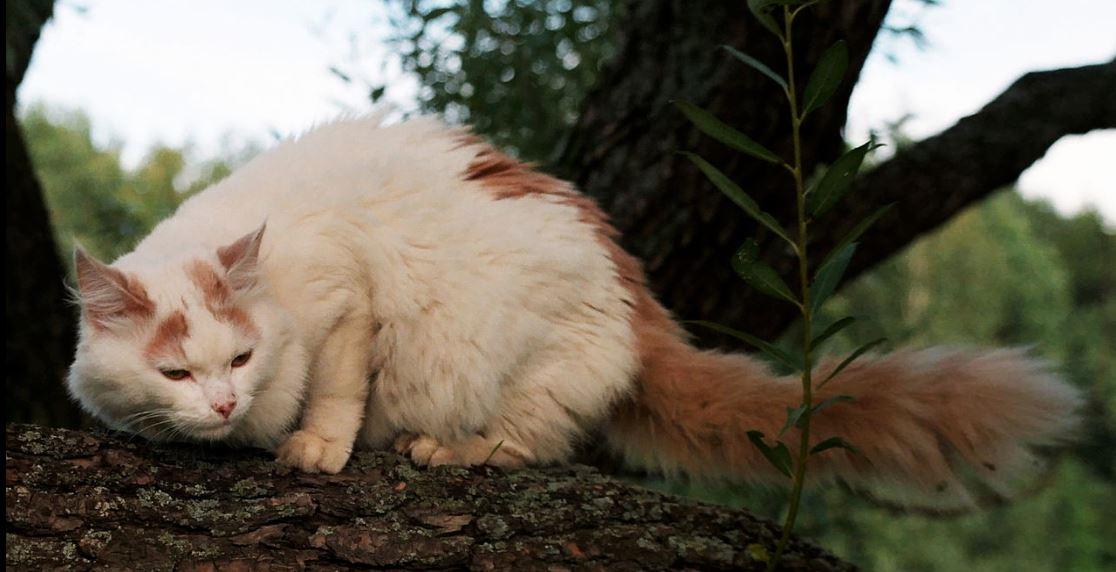 Kucing Turkish Van warna cream - wikipedia