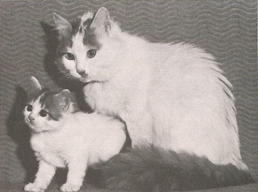 sejarah Sejarah Kucing Turkish Van - Complete Cat Encyclopedia