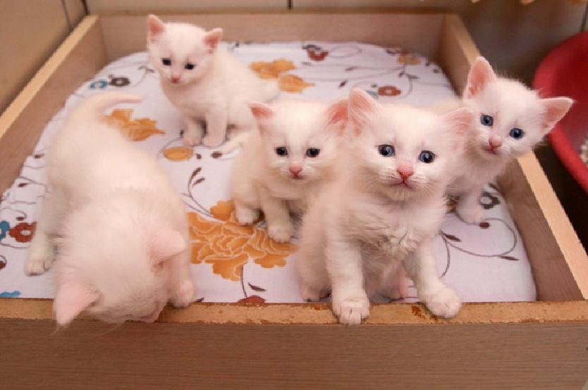 Turkish Van Kittens - Anak Kucing Van Turki - catprocom