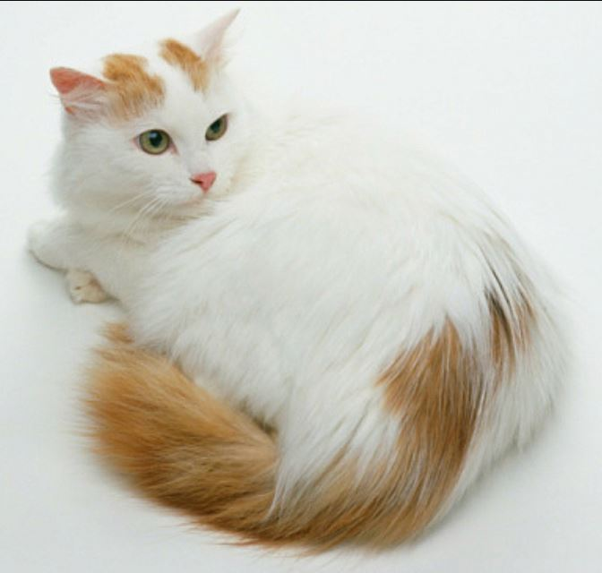 bulu warna perawatan - Gambar Kucing Turkish Van - Swimming Cat - wikipedia