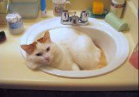 foto gambar Kucing Turkish Van warna merah - wikipedia