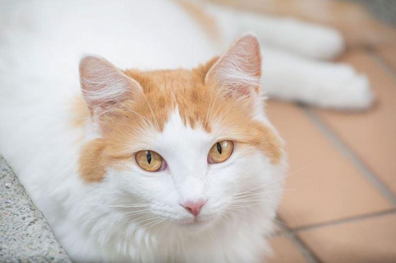 foto gambar Kucing Van Turki - catprocom