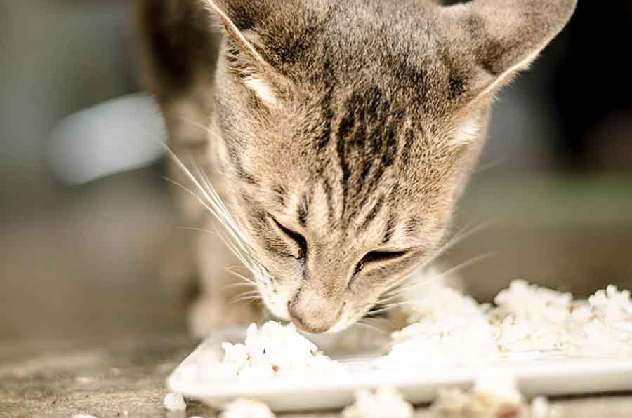 foto gambar kucing makan nasi - bowwowinsurance.com.au